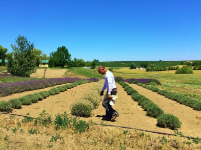 Jean-Paul working in the lavender field